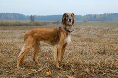 Cane di caccia Immagine Stock Libera da Diritti