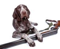 Cane di caccia con una pistola Fotografia Stock