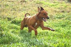 Cane di caccia felice Immagine Stock