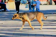 Cane di camminata Fotografie Stock Libere da Diritti