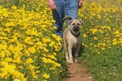 Cane di camminata Fotografia Stock Libera da Diritti