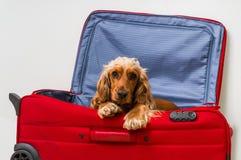Cane di cocker spaniel in valigia Fotografia Stock