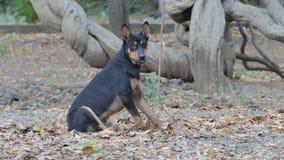 Cane di cuccioli nero che si siede sulla terra archivi video