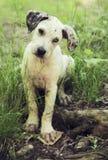 Cane di cucciolo del leopardo di Catahoula Immagine Stock