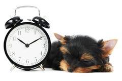 Cane di cucciolo del Terrier di Yorkshire Fotografie Stock