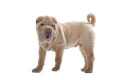 Cane di cucciolo di Shar-Pei Fotografia Stock