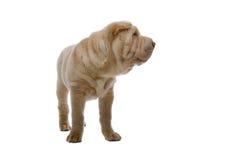 Cane di cucciolo di Shar-Pei fotografie stock