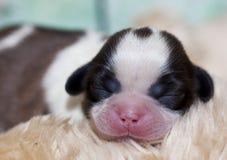 Cane di cucciolo di Shih Tzu immagini stock