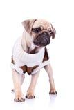 Cane di cucciolo diritto del pug Immagine Stock Libera da Diritti