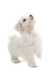 Cane di cucciolo maltese fotografia stock libera da diritti