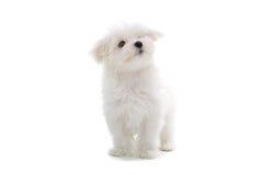 Cane di cucciolo maltese fotografie stock