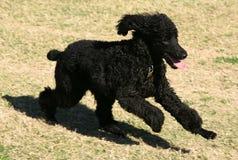 Cane di cucciolo nero corrente Fotografie Stock Libere da Diritti