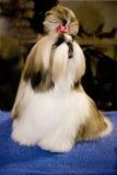 Cane di esposizione del campione Fotografie Stock