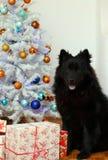 Cane di Eurasier dall'albero di Natale Fotografie Stock Libere da Diritti