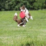 Cane di frisbee con il disco di volo di estate immagini stock libere da diritti