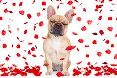Cane di giorno di biglietti di S. Valentino pazzo nell'amore fotografia stock libera da diritti