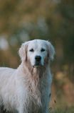 Cane di golden retriever Fotografia Stock Libera da Diritti