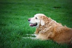 Cane di golden retriever fotografie stock libere da diritti