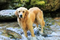 Cane di golden retriever che gioca in una torrente montano Immagine Stock