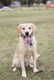 Cane di golden retriever che si siede nell'erba con il bastone fotografie stock libere da diritti