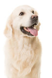 Cane di golden retriever che si siede sul bianco isolato Fotografia Stock