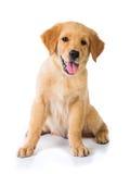 Cane di golden retriever che si siede sul pavimento, isolato sul BAC bianco Immagine Stock