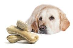 Cane di golden retriever con il mucchio del primo piano delle ossa di cane Fotografie Stock
