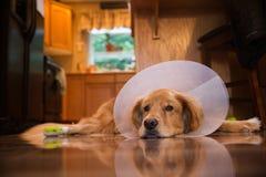 Cane di golden retriever con un collare del cono dopo un viaggio al vete Fotografie Stock