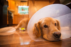 Cane di golden retriever con un collare del cono dopo un viaggio al vete Immagini Stock Libere da Diritti