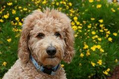 Cane di Goldendoodle con i fiori gialli Immagini Stock Libere da Diritti