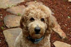 Cane di Goldendoodle sul percorso di pietra Fotografia Stock