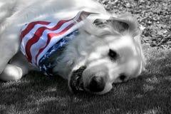 Cane di grandi Pirenei che indossa la bandana patriottica Immagini Stock