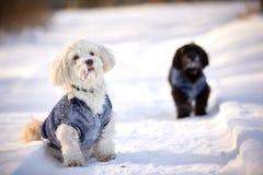 Cane di Havanese che aspetta e che guarda nella neve Immagine Stock