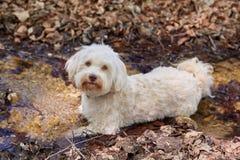 Cane di Havanese che si trova in una piccola corrente fotografie stock