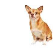 Cane di hua della chihuahua, isolato Fotografie Stock