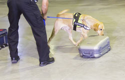 Cane di individuazione della droga della dogana Fotografia Stock Libera da Diritti