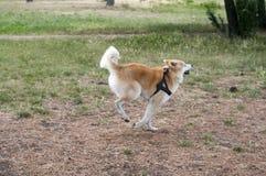 Cane di inu del Akita Fotografia Stock Libera da Diritti
