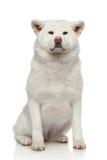 Cane di inu del Akita su priorità bassa bianca Immagine Stock Libera da Diritti