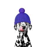 Cane di inverno in un cappello della lana fotografie stock