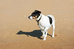 Cane di Jack Russell Terrier sul fondo della natura fotografia stock libera da diritti