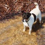 Cane di Jack Russell Terrier sul fondo della natura fotografie stock libere da diritti