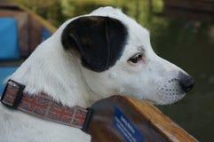 Cane di Jack Russell in una barca Fotografia Stock Libera da Diritti