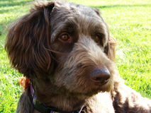 Cane di Labradoodle Fotografie Stock