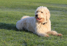 Cane di Labradoodle su erba fotografie stock