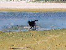 Cane di Labrador che corre e che gioca da solo nell'acqua Fotografie Stock Libere da Diritti