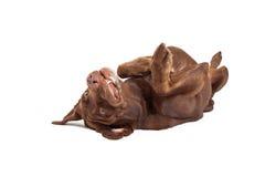 Cane di Labrador che mette su indietro immagine stock