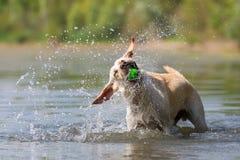 Cane di Labrador che scuote la testa Fotografia Stock Libera da Diritti