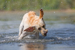 Cane di Labrador che scuote la testa Immagini Stock