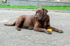 Cane di labrador colorato cioccolato immagine stock