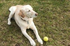 Cane di Labrador con pallina da tennis Immagine Stock Libera da Diritti